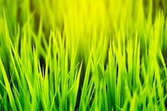 Chiuda su delle foglie verdi lunghe delle piante di riso Fotografia Stock