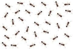 Chiuda in su delle formiche Immagine Stock Libera da Diritti