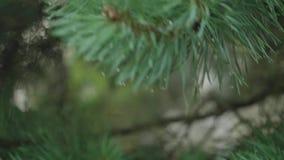 Chiuda su delle gocce dell'acqua che appendono sul brunch dell'albero di abete cadono dopo che il ramo è stato spinto archivi video