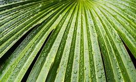 Chiuda su delle gocce dell'acqua a permesso della palma nella Camera di palma ai giardini di Kew a Londra, Regno Unito immagini stock libere da diritti