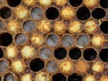 Chiuda su delle larve del fuco delle api in un favo fotografia stock