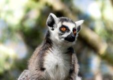 Chiuda su delle lemure catta Immagine Stock