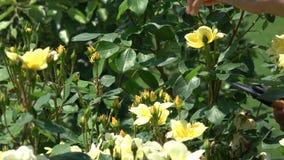 Chiuda su delle mani che potano le rose gialle con i tagli video d archivio
