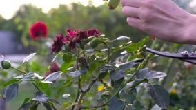 Chiuda su delle mani che potano le rose rosse con i tagli Tiro del movimento lento video d archivio
