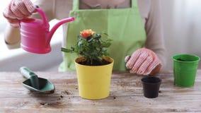 Chiuda su delle mani della donna che piantano le rose in vaso stock footage