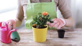 Chiuda su delle mani della donna che piantano le rose in vaso video d archivio