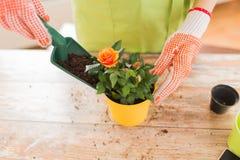 Chiuda su delle mani della donna che piantano le rose in vaso immagini stock libere da diritti