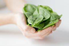 Chiuda su delle mani della donna che tengono gli spinaci Immagini Stock