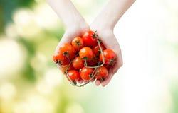 Chiuda su delle mani della donna che tengono i pomodori ciliegia Fotografia Stock