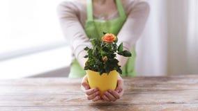 Chiuda su delle mani della donna che tengono il cespuglio di rose in vaso stock footage