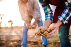 Chiuda su delle mani delle coppie che piantano le patate nella terra Immagini Stock