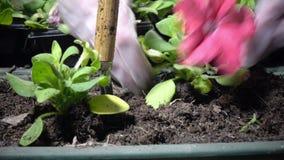Chiuda su delle mani femminili nei guanti economici che piantano la piantina della petunia in scatole del giardino video d archivio