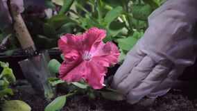 Chiuda su delle mani femminili nei guanti economici che piantano la piantina della petunia in scatole del giardino archivi video