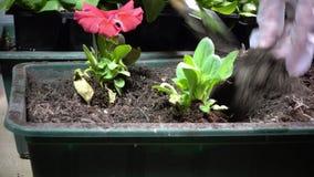 Chiuda su delle mani femminili nei guanti economici che piantano la piantina della petunia in scatole del giardino stock footage