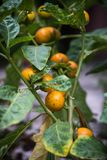 Chiuda su delle melanzane gialle rotonde che appendono con l'albero fotografia stock