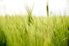 Chiuda su delle orecchie/chioda della segale in un campo fresco e verde dei raccolti, con la luce naturale del tramonto, in Dobro immagine stock
