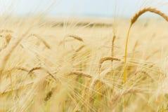 Chiuda in su delle orecchie mature del frumento Immagini Stock Libere da Diritti