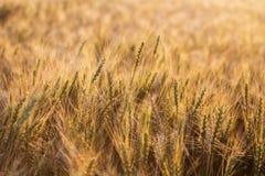 Chiuda in su delle orecchie mature del frumento Bello contesto delle orecchie di maturazione del campo dorato Fondo della natura  Fotografie Stock Libere da Diritti