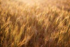 Chiuda in su delle orecchie mature del frumento Bello contesto delle orecchie di maturazione del campo dorato Fondo della natura  Fotografia Stock Libera da Diritti