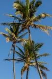 Chiuda su delle palme e delle loro noci di cocco su Oahu, Hawai, U.S.A. fotografie stock libere da diritti