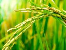 Chiuda su delle pannocchie del seme del riso nella risaia Fotografia Stock