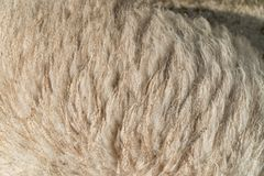 Chiuda su delle pecore Fotografia Stock