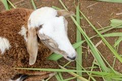 Chiuda su delle pecore Fotografia Stock Libera da Diritti
