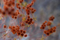 Chiuda su delle piante asciutte rosse, erbe dell'isola di Corsica, Francia Struttura di vegetazione Vista orizzontale immagini stock libere da diritti