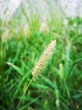 Chiuda su delle piante della setaria nel campo immagini stock libere da diritti