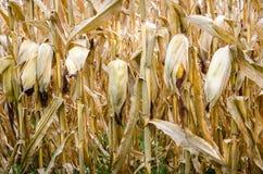 Chiuda su delle piante di cereale Fotografia Stock