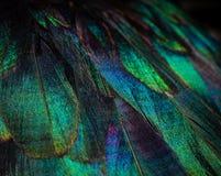 Chiuda su delle piume variopinte dell'anatra Colori chiari fotografia stock