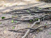 Chiuda su delle radici di un albero fra una terra arida e le foglie verdi immagine stock libera da diritti