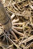 Chiuda su delle radici esposte di una pianta del gambo del cereale in primavera fotografie stock