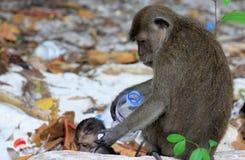 Chiuda su delle scimmie del bambino e della madre chemangiano il macaco a coda lunga, fascicularis del Macaca sulla spiaggia inqu immagine stock