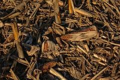 Chiuda su delle stoppie e dei coni delle piante di cereale lasciate dopo il raccolto nell'inverno Fotografia Stock Libera da Diritti
