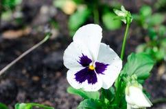 Chiuda su delle viole del pensiero bianche che crescono nel giardino fotografia stock