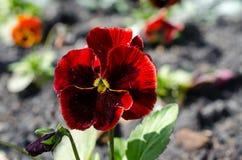 Chiuda su delle viole del pensiero rosse che crescono nel giardino fotografie stock libere da diritti