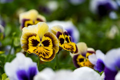 Chiuda su delle viole del pensiero scure di marrone giallo Fotografia Stock