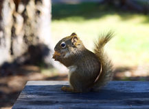 Chiuda su dello scoiattolo che si siede sulla Tabella di legno Fotografie Stock