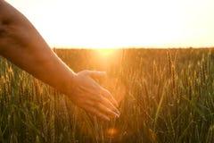 Chiuda su dello spica commovente del grano della mano del ` s della donna, orecchio verde del grano sul grande campo di coltivazi Immagine Stock