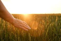 Chiuda su dello spica commovente del grano della mano del ` s della donna, orecchio verde del grano sul grande campo di coltivazi Fotografia Stock Libera da Diritti