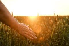 Chiuda su dello spica commovente del grano della mano del ` s della donna, orecchio verde del grano sul grande campo di coltivazi Fotografia Stock