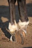 Chiuda su dello zoccolo del cavallo con il ferro di cavallo Fotografie Stock Libere da Diritti