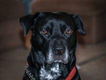 Chiuda su di affumicato il cane Immagini Stock Libere da Diritti
