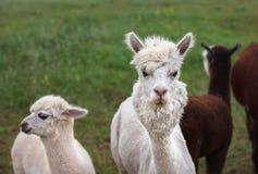 Chiuda su di alpaga sull'azienda agricola Fotografia Stock Libera da Diritti