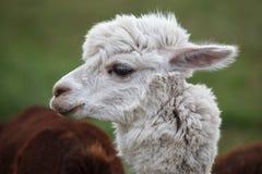 Chiuda su di alpaga sull'azienda agricola Immagine Stock Libera da Diritti