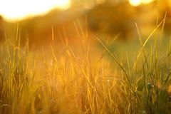 chiuda su di alta erba alla luce solare luminosa e variopinta all'alba Fotografie Stock Libere da Diritti