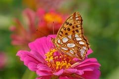 Chiuda su di alta farfalla marrone della fritillaria Immagine Stock Libera da Diritti