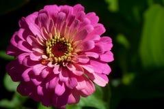 Chiuda su di bei pedali e stame rosa del fiore Fotografia Stock