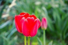 Chiuda su di bei tulipani rossi di fioritura nel giardino nella primavera Priorità bassa variopinta della sorgente Giorno pieno d Immagine Stock